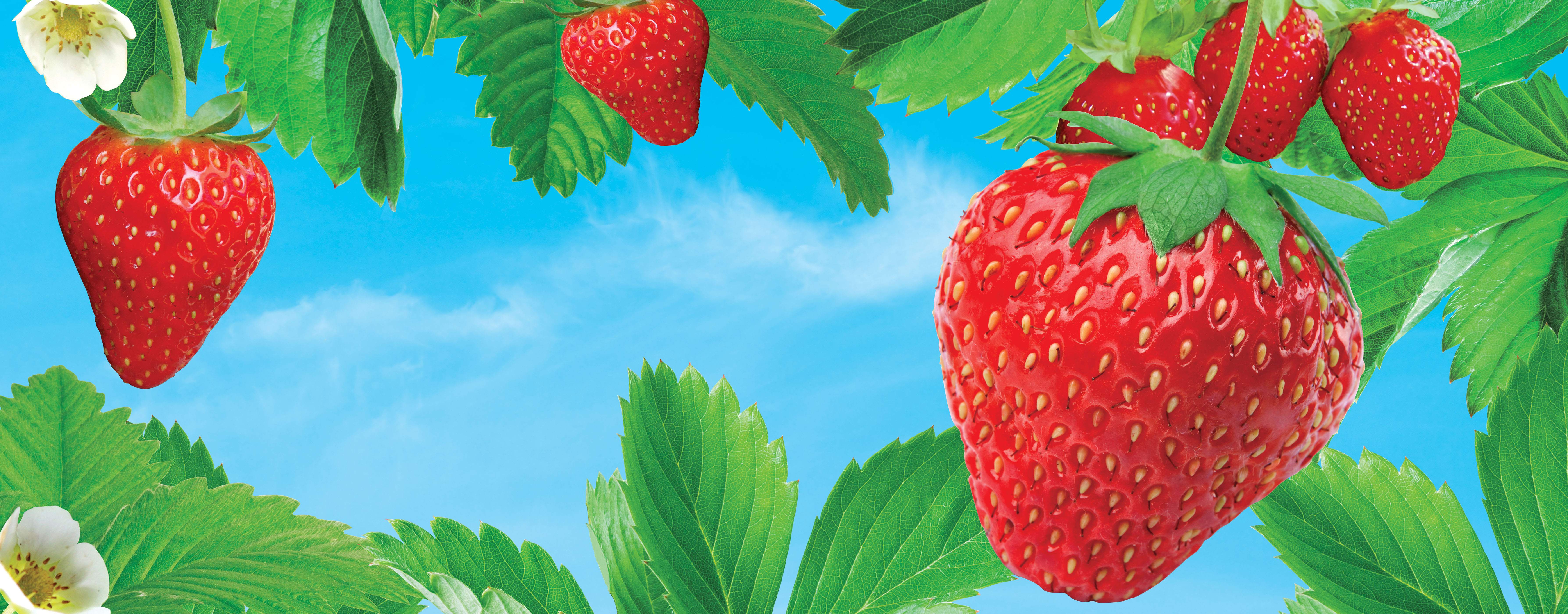 Strawberries hanging from a vine