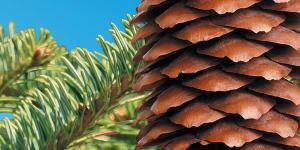 pine tree brand and pine cones